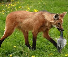 Vadkutya gólyalábakon