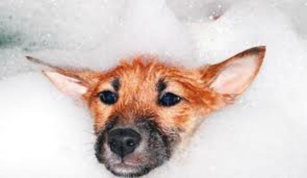 Kutyák szőrtetvessége