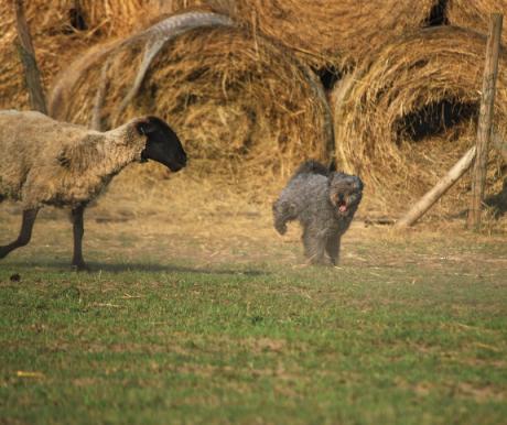 Pásztorkutyák a Magyar pusztán