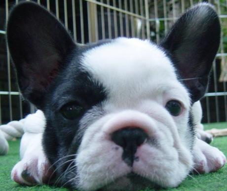 A francia bulldog