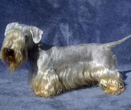 A cesky terrier (bohemian terrier)
