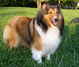 Shetland sheepdog (sheltie) FCI 88