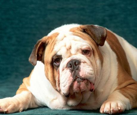 Egészséges és boldog európai bulldog
