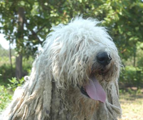 A kunok kutyája
