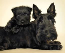 A skót terrier