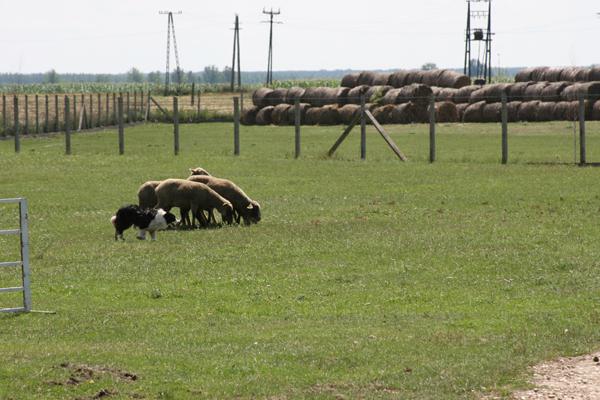 Angol pásztor terelőverseny családi hangulatban