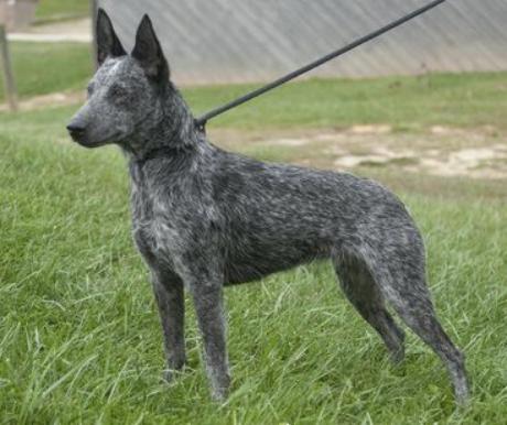 Ausztrál cattle dog