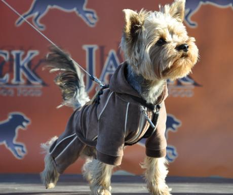 Yorki Fesztivál és Akadémia kistestű kutyáknak