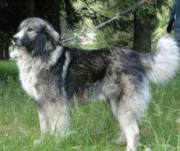 Román pásztorkutyák