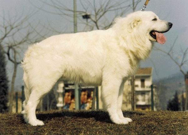 Abruzzói juhászkutya