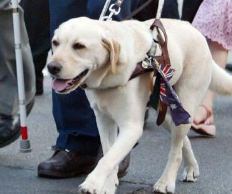 Hogyan válasszuk ki a leendő vakvezető kutyát?