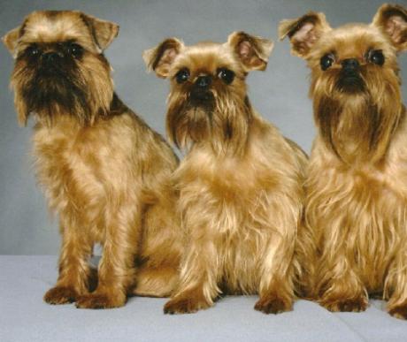 Brüsszeli Griffon: az emberarcú kutya