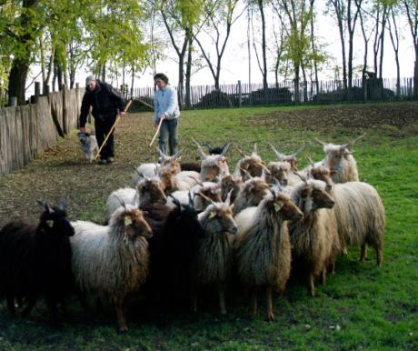 Engedelmes magyar pásztorkutyák