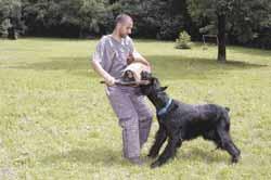 A jó kiállítási kutya legalább olyan stabil idegrendszerű, mint egy munkakutya, schnauzer
