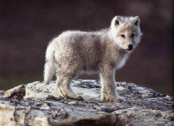 Ötven évnyi farkaskutatás