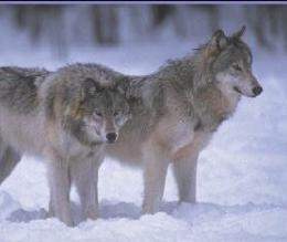 Kutya, farkas vagy farkaskutya? 2.