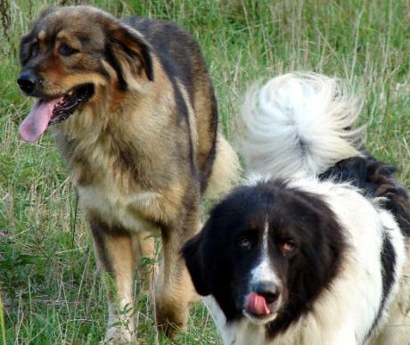 Karakachan, a bolgár pásztorkutya