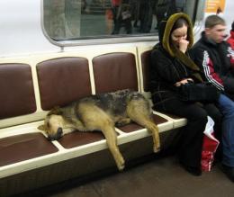 Árva-e a moszkvai utcakutya?