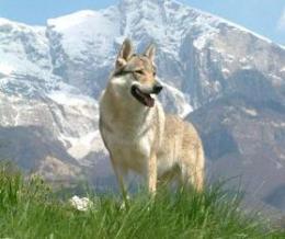 A cseh-szlovák farkaskutya
