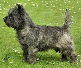Cairn terrier (FCI 4)