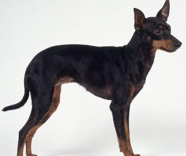 Angol toy terrier (FCI 13)