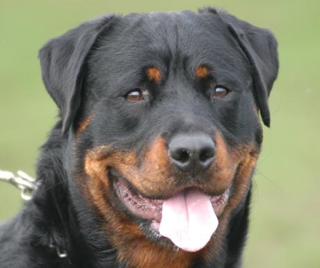 Rottweiler, a német nehéztüzér