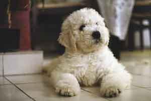 Komondor, a kutyák királya