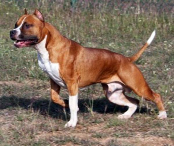 Amerikai staffordshire terrier (FCI 286)