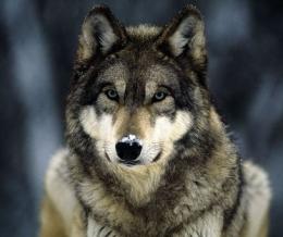 A hórihorgas sörényes farkas szomorú története