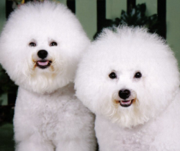Pici fehér kutyacsodák