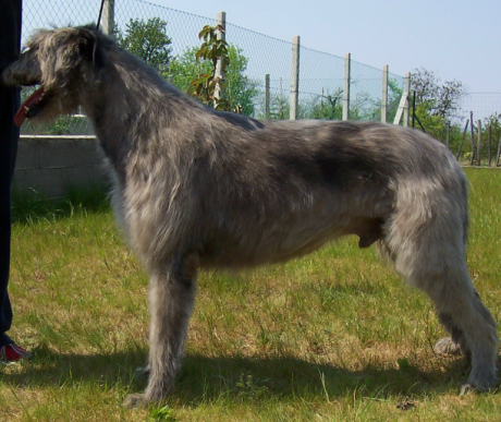 Ír farkaskutya, a kelta langaléta