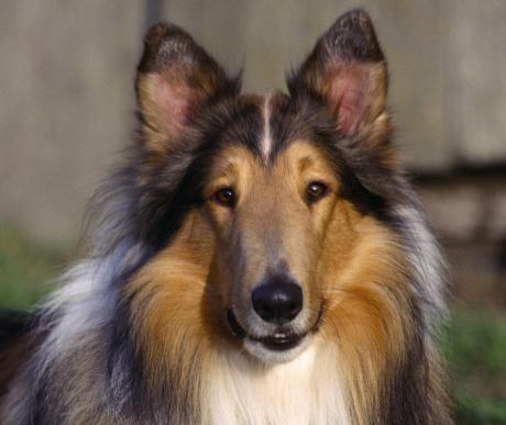 Legendák hőse, gyerekek kedvence, a skót juhászkutya