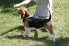 Beagle Dance és fajtaismertető